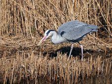 Free Grey Heron Royalty Free Stock Images - 33849239