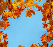Free Autumn Maple Leaves Royalty Free Stock Images - 33859339