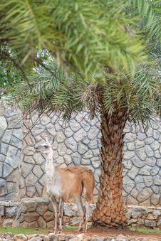 Free Lama Stock Image - 33859961