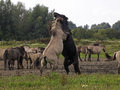 Free Konik Horses Stock Photography - 33861682
