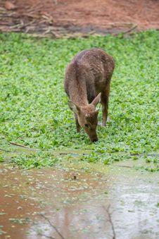 Free Deer Royalty Free Stock Images - 33860449