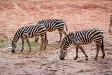 Free Wild Zebra Royalty Free Stock Photos - 33860858