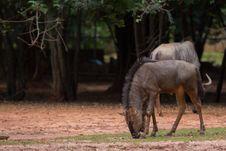 Free Wildebeest Stock Photo - 33860890
