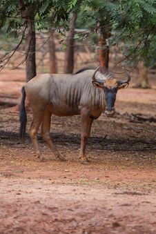 Free Wildebeest Royalty Free Stock Image - 33860936