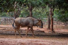 Free Wildebeest Royalty Free Stock Photos - 33860998