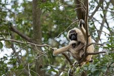 Free White Gibbon Stock Photo - 33861310