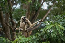 Free White Gibbon Stock Images - 33861394