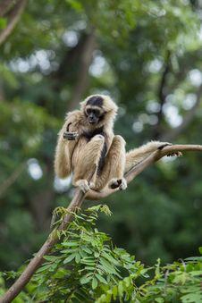 Free White Gibbon Stock Images - 33861484