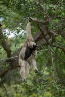 Free White Gibbon Royalty Free Stock Image - 33861566