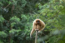 Free White Gibbon Royalty Free Stock Photo - 33861655