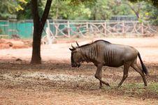 Free Wildebeest Royalty Free Stock Image - 33862156