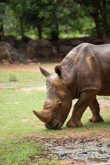 Free White Rhino Royalty Free Stock Photography - 33862407