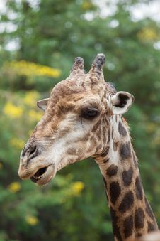 Free Giraffe Royalty Free Stock Photography - 33863177
