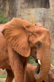 Free Elephant Royalty Free Stock Photos - 33863298