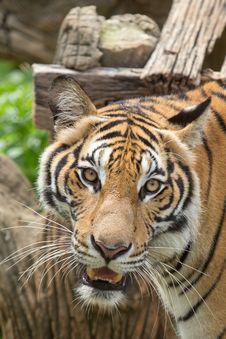 Free Tiger Close Up Royalty Free Stock Photos - 33874428