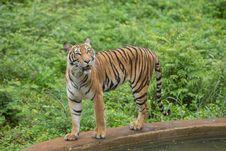 Free Tiger Stock Photo - 33874560