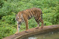 Free Bengal Tiger Royalty Free Stock Image - 33874726