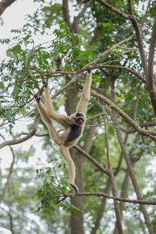 White Gibbon Stock Photos