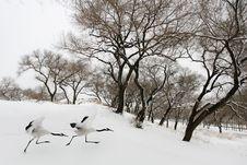 Free Snow Ran Crane Stock Image - 33875391