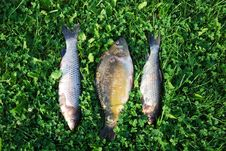 Free Freshly Caught Fishes Royalty Free Stock Photo - 33885605