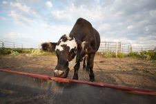 Free Lone Cattle At Empty Feedbunk Royalty Free Stock Photos - 33886108