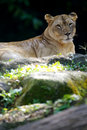 Free Lion Royalty Free Stock Photography - 3396017