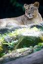 Free Lion Stock Image - 3396041