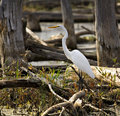 Free Egret In A Marsh Royalty Free Stock Image - 3399646