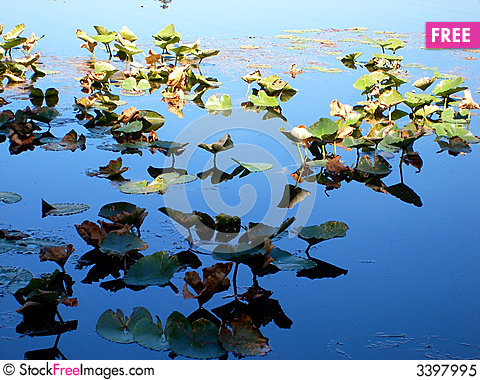 Free Lilly Pads In Sun And Shade Royalty Free Stock Photo - 3397995