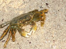 Free Land-crab On A Sand Stock Images - 3390014