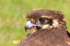 Free Brown Falcon Royalty Free Stock Photos - 3390058