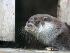 Free Otter Stock Photo - 3390120