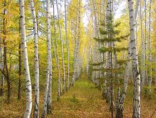 Free Birch Forest Royalty Free Stock Image - 3390836