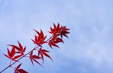 Free Maple Leaves Twig Royalty Free Stock Photo - 3391295