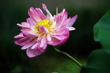Free Water Lily Stock Images - 3391524
