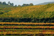 Colorful Vineyard In Austria Stock Photography
