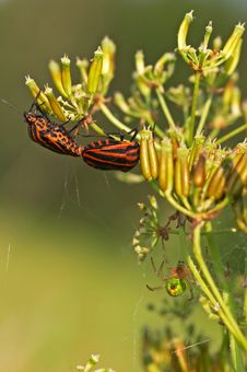 Red Striped Shield Bugs Royalty Free Stock Photography