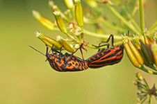 Red Striped Shield Bugs Stock Photo