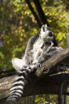 Free Lemur On The Tree Stock Photography - 3393432