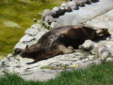 Free Atlantic Grey Seal Royalty Free Stock Photos - 3394028