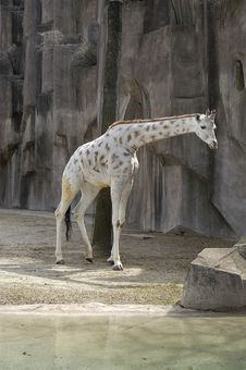 Free Giraffe 3 Royalty Free Stock Photography - 3394207