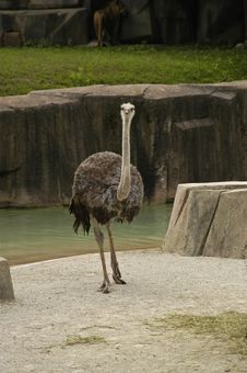 Free Ostrich Royalty Free Stock Images - 3394669
