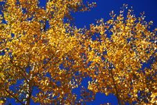A Canopy Of Blue And Gold Stock Image