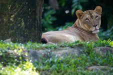 Free Lion Royalty Free Stock Photos - 3396078