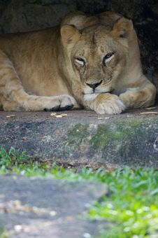 Free Lion Royalty Free Stock Photo - 3396105