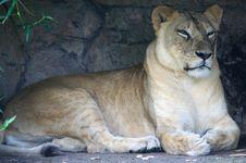 Free Lion Stock Image - 3396171