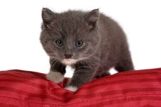 Free Grey Kitten On Red Pillow Royalty Free Stock Photo - 3396415
