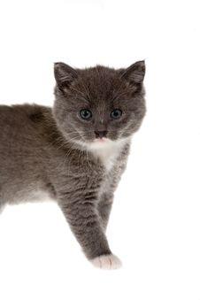 Free Grey Kitten Stock Photo - 3396420