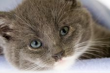 Grey Kitten On The Blanket Stock Photography