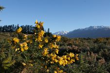 Free Gorse In The High Country Royalty Free Stock Images - 3397879